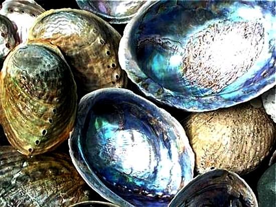 nz paua shells