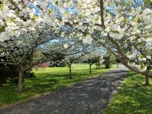 St Pauls blossom